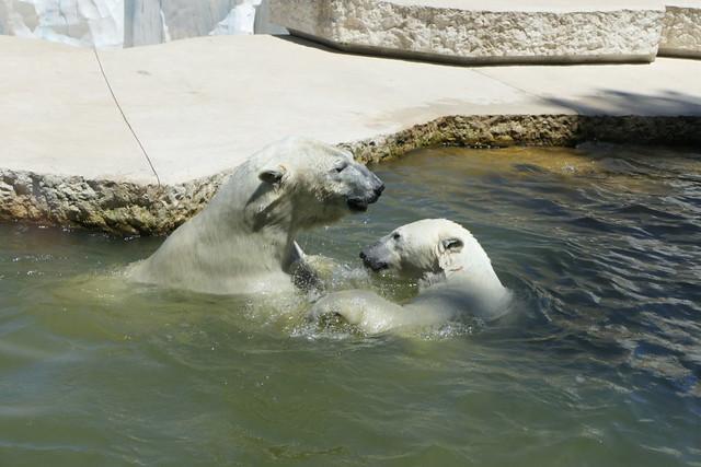 Eisbär Kap & Nika - Zoo Karlsruhe