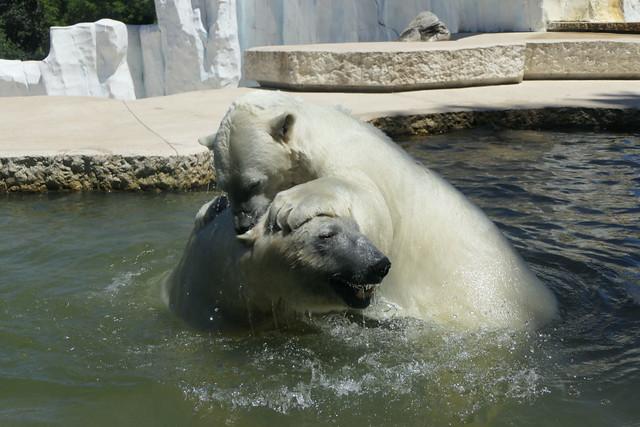 Eisbär Nika & Kap - Zoo Karlsruhe