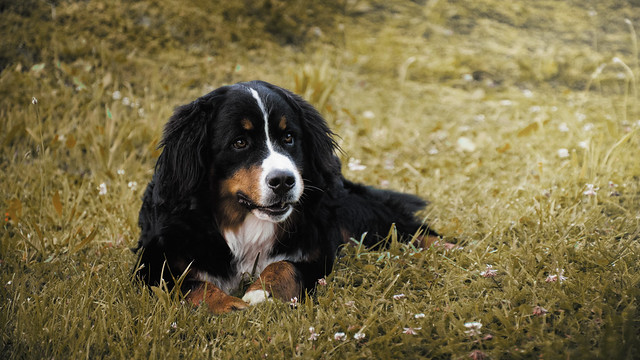 Thor the Bernese  Mountain Dog