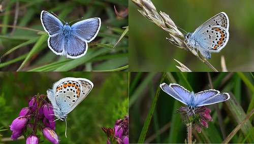 silverstuddedblue butterfly bluebutterfly nikond810 sigmaapomacro180mmaff35 ashdownforest sussexwildlifetrust butterflyconservation