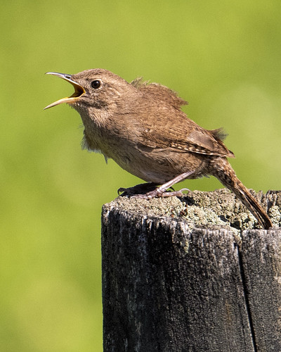 Negri-Nepote: House Wren Singing His Heart Out