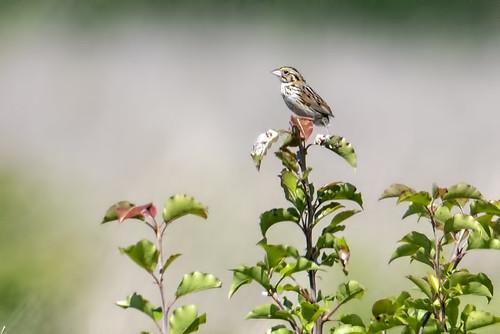 Negri-Nepote: Henslow's Sparrow!