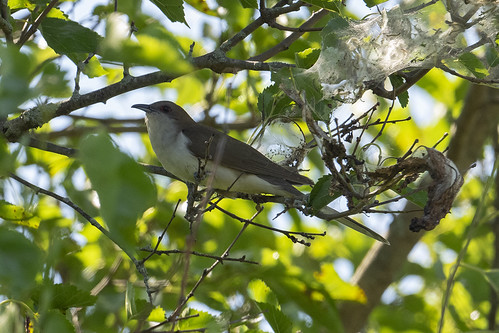 Negri-Nepote: Black-billed Cuckoo