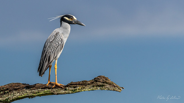 Yellow-crowned Night-Heron, Brazos Bend