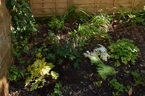Back bed with sarcococca 'winter gem' and heucherella 'Alabama sunrise' added