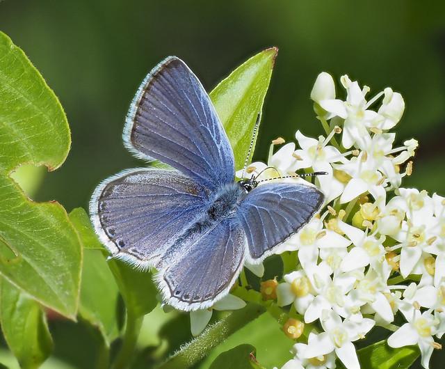 Western Tailed Blue - Cupido amyntula (Lycaenidae, Polyommatinae, Polyommatini) 119y-6091903