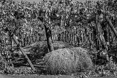 Viña - vineyards - Ruta San Martin - BW