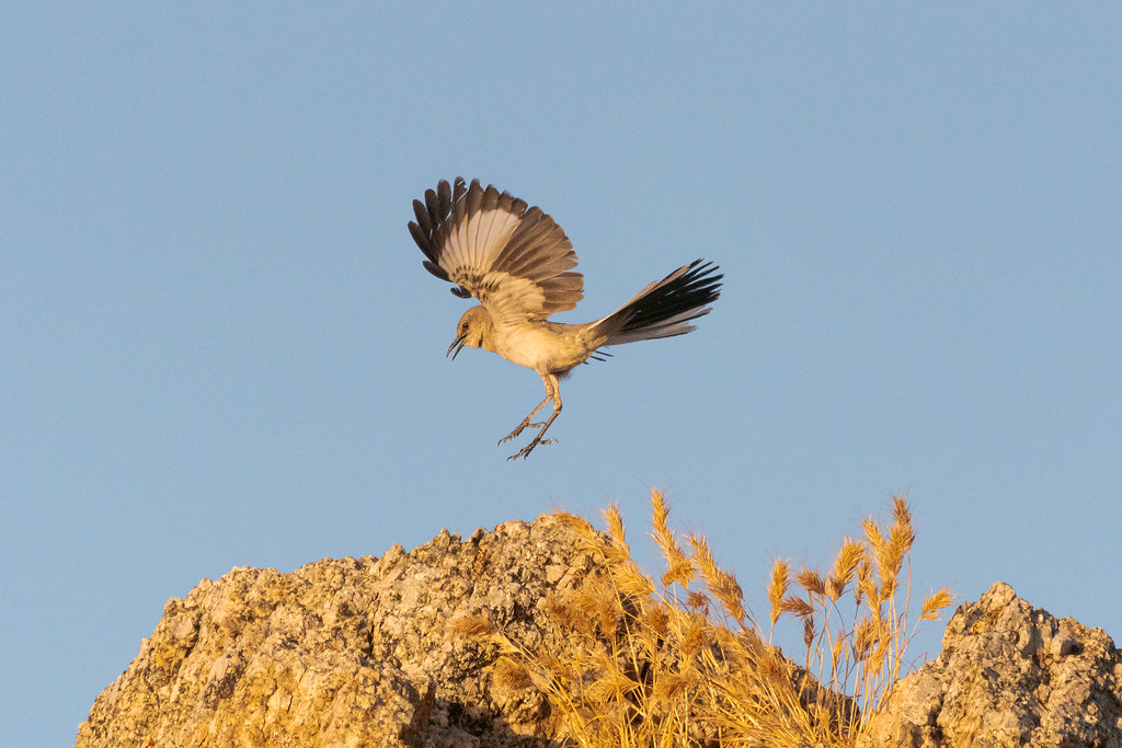 A northern mockingbird prepares to land as it displays during its mating dance along the Marcus Landslide Trail in McDowell Sonoran Preserve in Scottsdale, Arizona in June 2019
