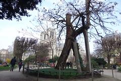 Oldest tree in Paris
