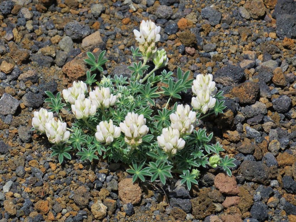White dwarf lupine
