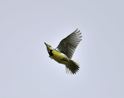 Sturnelle des prés- Eastern Meadowlark