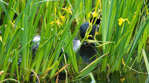 Coot chicks, Bag's Pool, Baggeridge