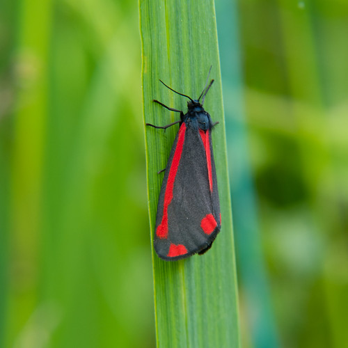 Cinnabar moth at rest on bulrush leaf