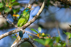 Yellow-fronted Barbet - Psilopogon flavifrons