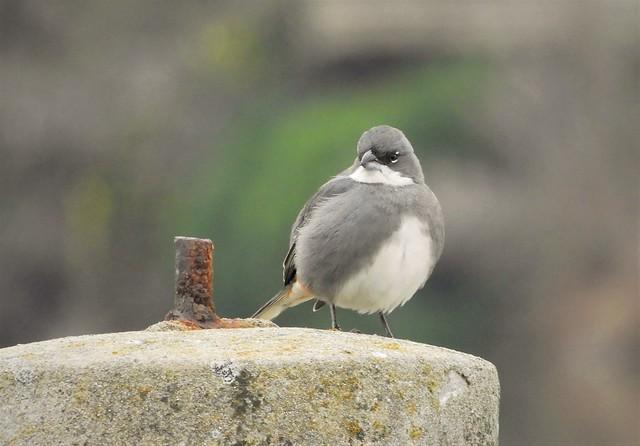 Life Bird: Common Diuca-Finch