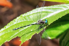 Variable Tigertail (Eusynthemis aurolineata)