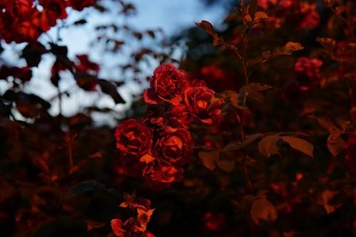 Nightroses