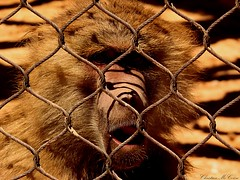 Imprisoned monkey