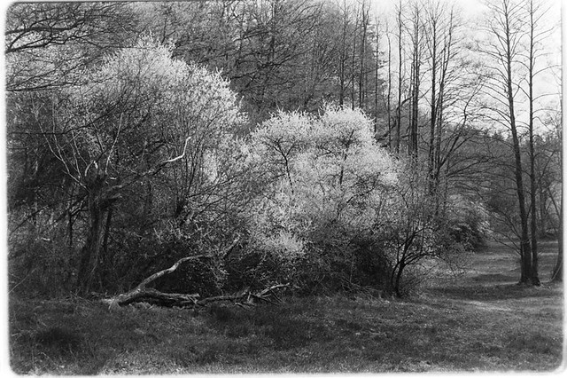 blossoming forest