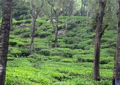 Tea plantation 6IMG_8201