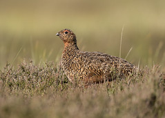 Red Grouse - Lagopus lagopus