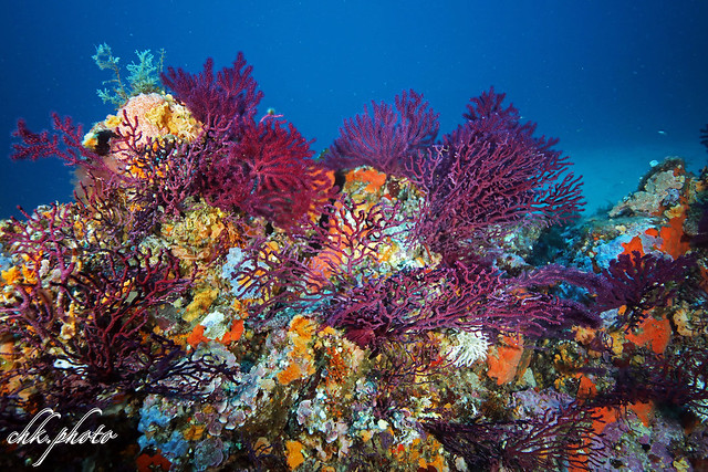 Colourful coralgarden in France
