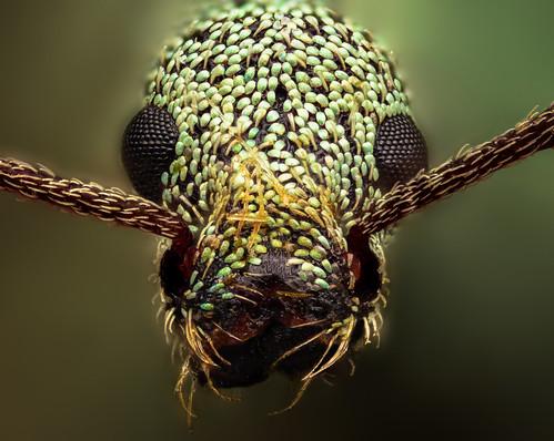 Phyllobius, Weevil