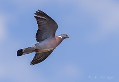 Wood Pigeon   - 0906