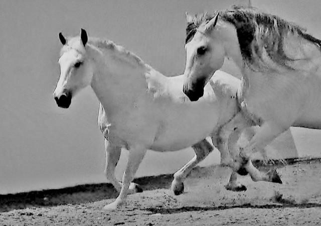 Spanische Kartäuser Pferde , Spanish Carthusian horses , effecte, (serie) , 76760/11641