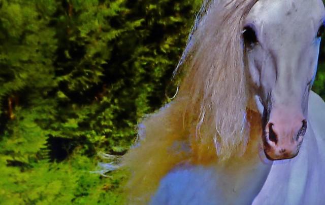 Spanische Kartäuser Pferde , Spanish Carthusian horses, effecte,  (serie) , 76763/11644