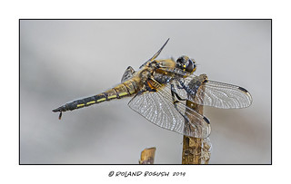 Four-Spotted Chaser having a private moment