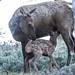 IMG_5418 cow and calf elk