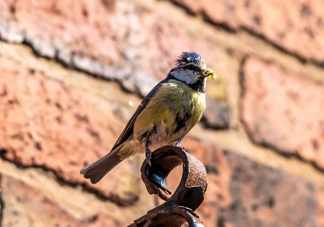 Blue tit with food for chicks