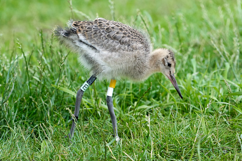 WE-KT-Black-tailed headstarted chick YW (12)