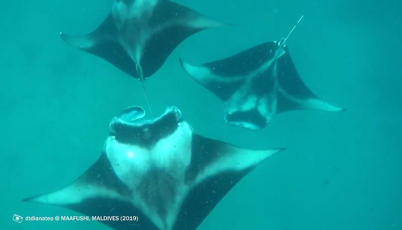 2019 Maldives Snorkelling With Manta Rays