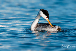 Preening Clark's Grebe | by Let there be light (A.J. McCullough)