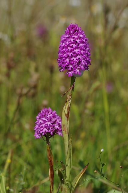 Faversham's Pyramidal Orchids - Anacamptis pyramidalis