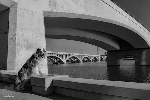 bridge aussie australianshepherd dog architecture tempe asu