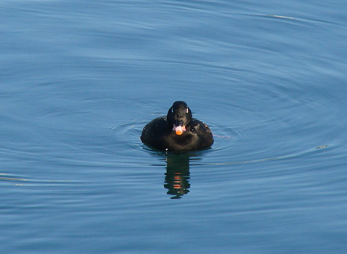 White-winged Scoter Degland Scoter