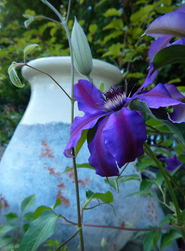 Purple Clematis in front of an old jar