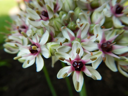 Macro of Allium flowers in May