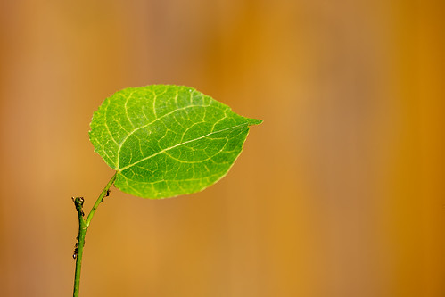 Leaf   XOKA2881bs | by Phuketian.S