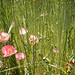 Pink poppies in amongst the wild grasses at UBC, Vancouver.
