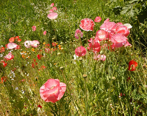 Pink poppies in amongst the wild grasses at UBC, Vancouver