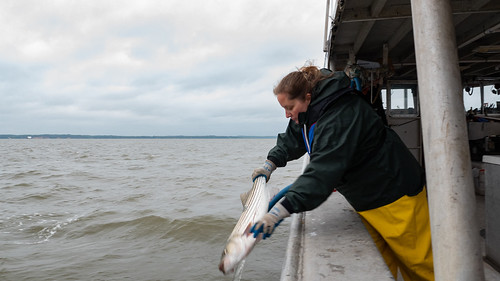 Photo of biologist on a boat returning tagged striped bass to the water