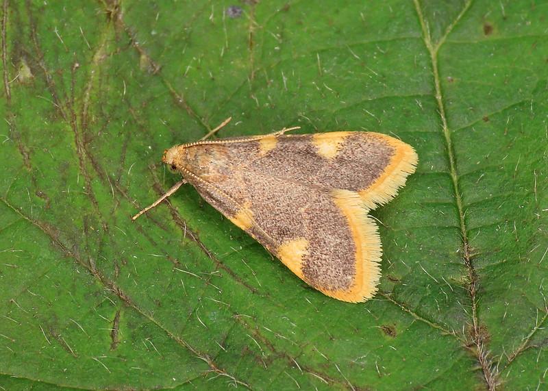 62.075 Gold Triangle - Hypsopygia costalis
