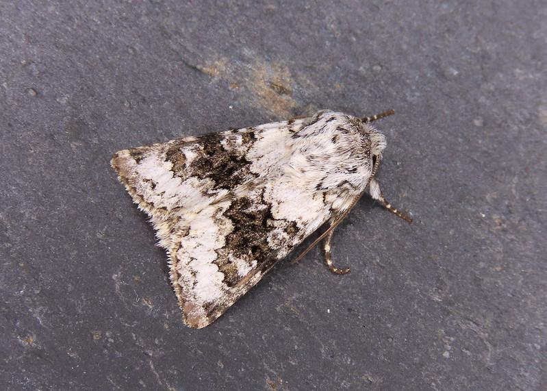 73.279 Broad-barred White - Hecatera bicolorata