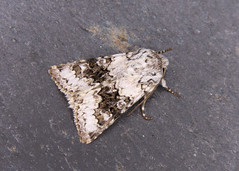 73.279 Broad-barred White - Hecatera bicolorata