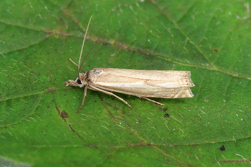 63.086 Hook-streak Grass-veneer - Crambus lathoniellus