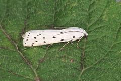 62.042 Thistle Ermine - Myelois circumvoluta